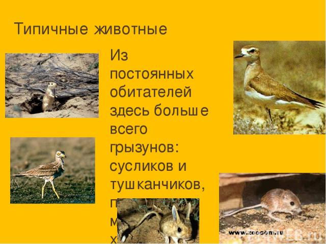 Типичные животные Из постоянных обитателей здесь больше всего грызунов: сусликов и тушканчиков, полевых мышей, хомяков. Грызуны служат пищей множеству хищников, среди которых и местная лисичка - корсак, и хорёк, и различные птицы, и змеи.