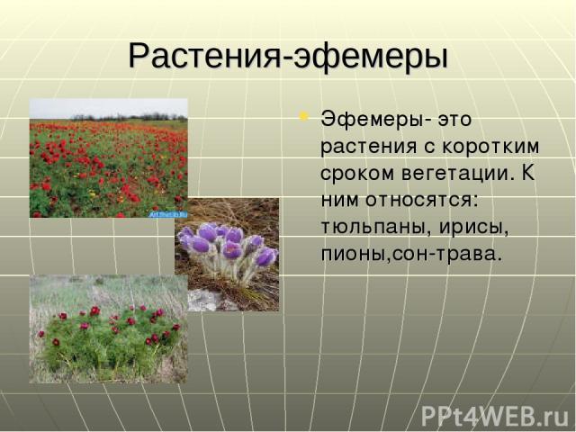 Растения-эфемеры Эфемеры- это растения с коротким сроком вегетации. К ним относятся: тюльпаны, ирисы, пионы,сон-трава.