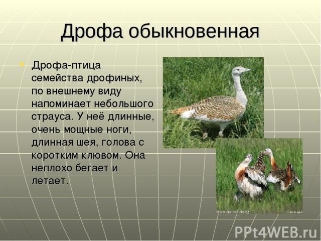 Дрофа обыкновенная Дрофа-птица семейства дрофиных, по внешнему виду напоминает небольшого страуса. У неё длинные, очень мощные ноги, длинная шея, голова с коротким клювом. Она неплохо бегает и летает.