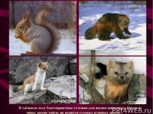 РОСОМАХА В таёжном лесу благоприятные условия для жизни животных. Нигде в мире,