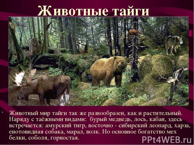 Животный мир тайги так же разнообразен, как и растительный. Наряду с таёжными видами: бурый медведь, лось, кабан, здесь встречается: амурский тигр, восточно - сибирский леопард, харза, енотовидная собака, марал, волк. Но основное богатство мех белки…