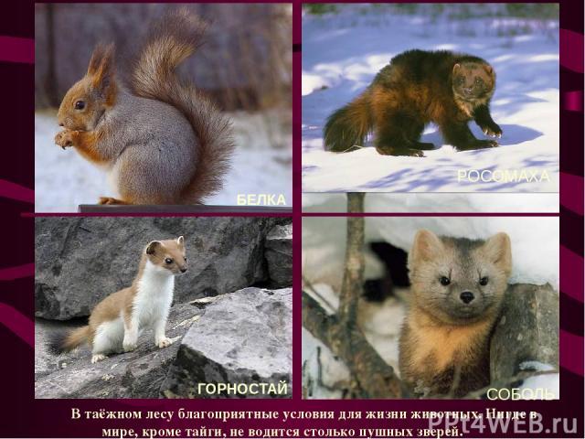 РОСОМАХА В таёжном лесу благоприятные условия для жизни животных. Нигде в мире, кроме тайги, не водится столько пушных зверей. БЕЛКА СОБОЛЬ ГОРНОСТАЙ