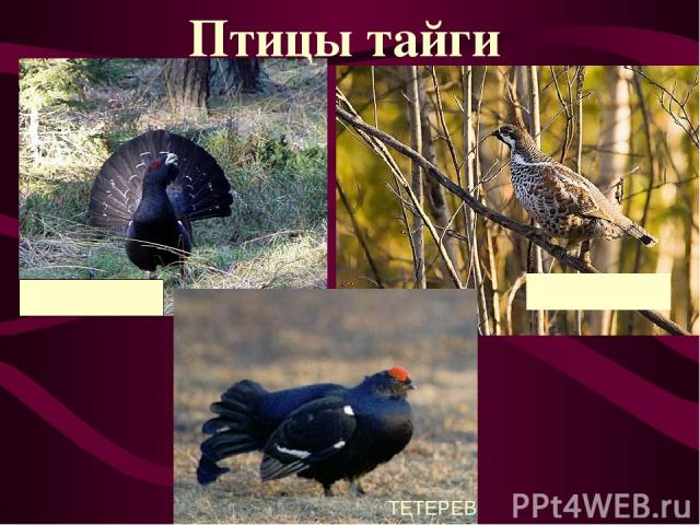 ГЛУХАРЬ РЯБЧИК ТЕТЕРЕВ Птицы тайги