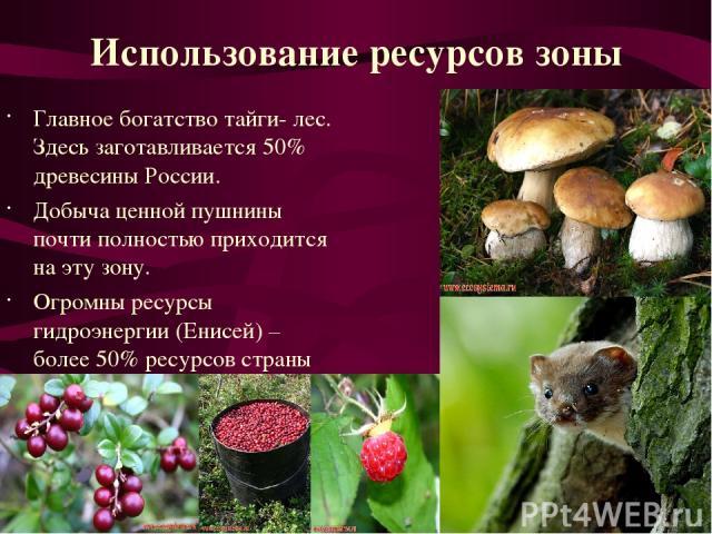 Главное богатство тайги- лес. Здесь заготавливается 50% древесины России. Добыча ценной пушнины почти полностью приходится на эту зону. Огромны ресурсы гидроэнергии (Енисей) – более 50% ресурсов страны Использование ресурсов зоны