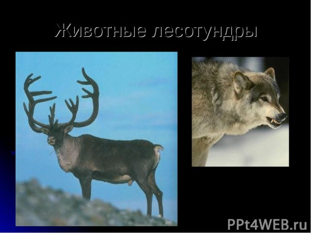 Животные лесотундры