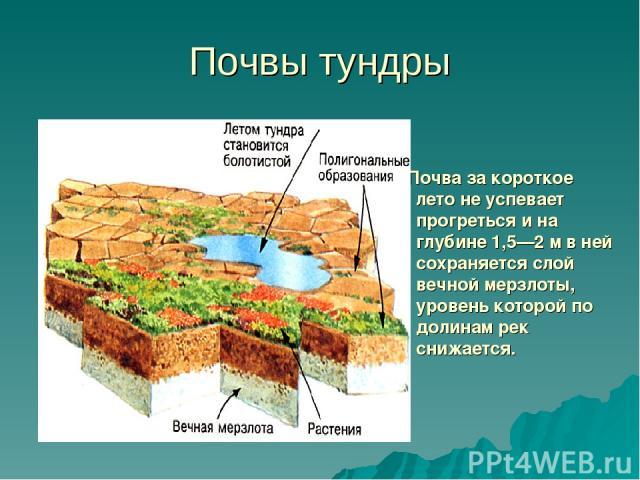 Почвы тундры Почва за короткое лето не успевает прогреться и на глубине 1,5—2 м в ней сохраняется слой вечной мерзлоты, уровень которой по долинам рек снижается.