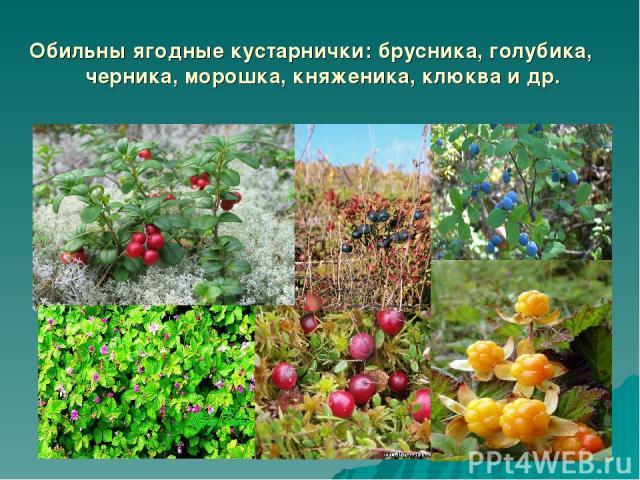 Обильны ягодные кустарнички: брусника, голубика, черника, морошка, княженика, клюква и др.