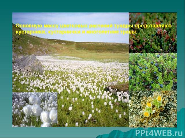 Основную массу цветковых растений тундры представляют кустарники, кустарнички и многолетние травы.