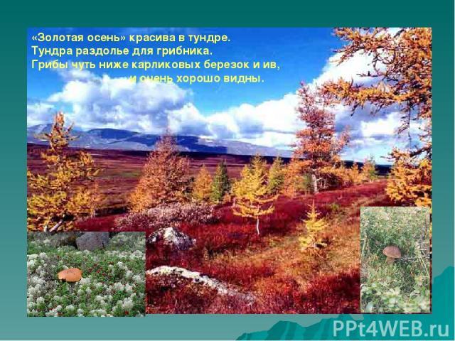 «Золотая осень» красива в тундре. Тундра раздолье для грибника. Грибы чуть ниже карликовых березок и ив, и очень хорошо видны.