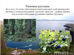 Типичные растения: Из-за того, что почва тайги является неплодородной, в ней про