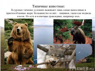 Типичные животные: В суровых таёжных условиях выживают лишь самые выносливые и п