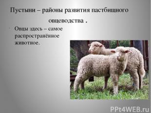 Пустыни – районы развития пастбищного овцеводства . Овцы здесь – самое распростр