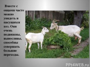 Вместе с овцами часто можно увидеть и пасущихся коз. Они очень подвижны, выносли