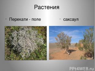 Растения Перекати - поле саксаул