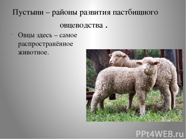 Пустыни – районы развития пастбищного овцеводства . Овцы здесь – самое распространённое животное.