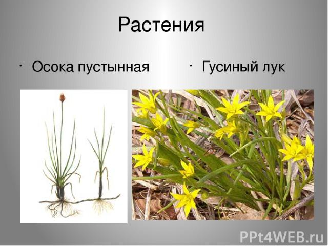 Растения Осока пустынная Гусиный лук