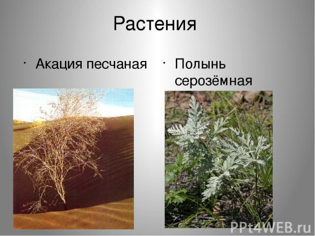 Растения Акация песчаная Полынь серозёмная