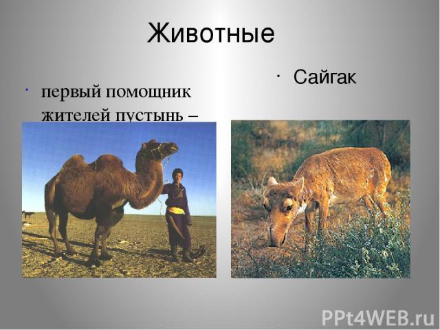 Животные первый помощник жителей пустынь – верблюд Сайгак