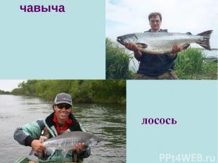чавыча лосось