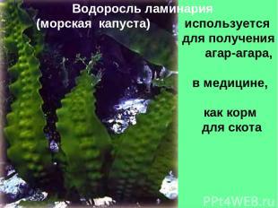 Водоросль ламинария (морская капуста) используется для получения агар-агара, в м