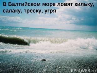 В Балтийском море ловят кильку, салаку, треску, угря