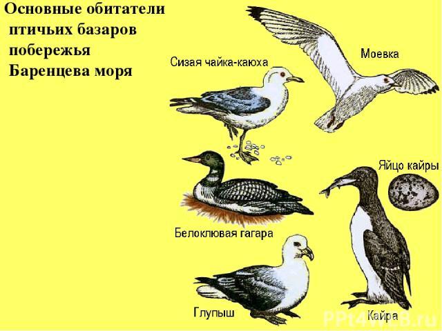 Основные обитатели птичьих базаров побережья Баренцева моря
