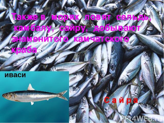 Также в морях ловят сельдь, камбалу, сайру, добывают знаменитого камчатского краба иваси С а й р а