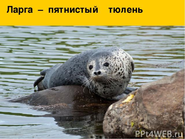 Ларга – пятнистый тюлень