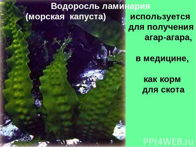 Водоросль ламинария (морская капуста) используется для получения агар-агара, в медицине, как корм для скота