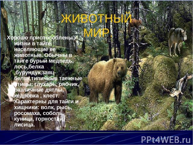 ЖИВОТНЫЙ МИР. Хорошо приспособлены к жизни в тайге населяющие ее животные. Обычны в тайге бурый медведь, лось,белка ,бурундук,заяц-беляк,типичные таежные птицы: глухарь, рябчик, различные дятлы, кедровка , клест. Характерны для тайги и хищники: волк…