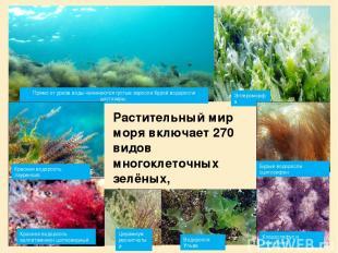 Растительный мир моря включает 270 видов многоклеточных зелёных, бурых, красных