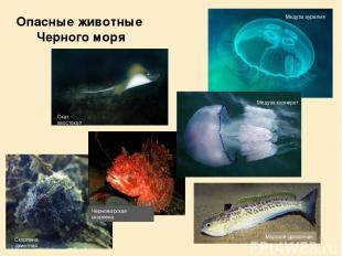 Скат - хвостокол Морской дракончик Скорпена заметная Медуза аурелия Медуза корне
