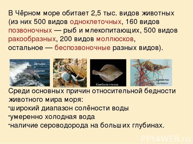 В Чёрном море обитает 2,5 тыс. видов животных (из них 500 видов одноклеточных, 160 видов позвоночных— рыб и млекопитающих, 500 видов ракообразных, 200 видов моллюсков, остальное— беспозвоночные разных видов). Среди основных причин относительной бе…