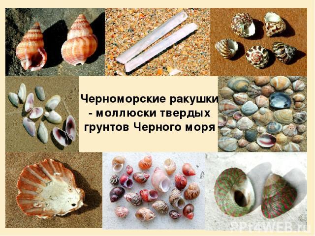 Черноморские ракушки - моллюски твердых грунтов Черного моря
