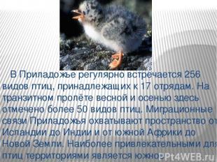 В Приладожье регулярно встречается 256 видов птиц, принадлежащих к 17 отрядам. Н