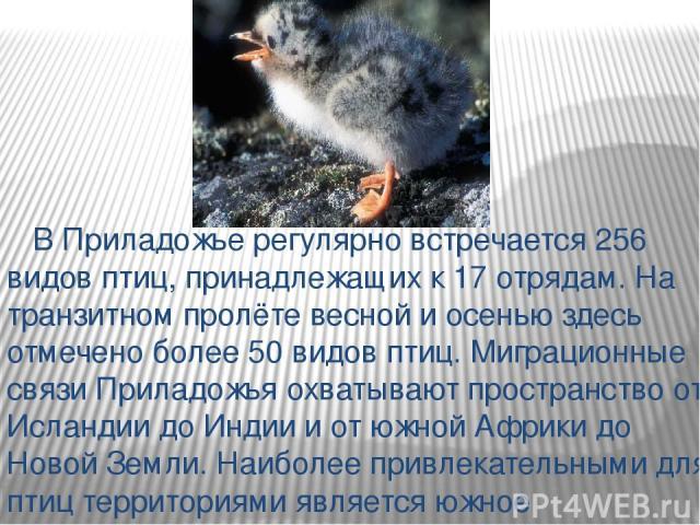 В Приладожье регулярно встречается 256 видов птиц, принадлежащих к 17 отрядам. На транзитном пролёте весной и осенью здесь отмечено более 50 видов птиц. Миграционные связи Приладожья охватывают пространство от Исландии до Индии и от южной Африки до …