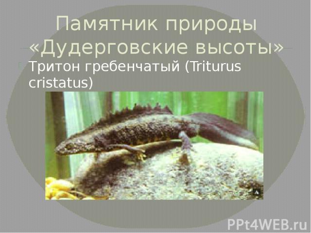 Памятник природы «Дудерговские высоты» Тритон гребенчатый (Triturus cristatus)