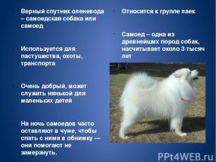 Верный спутник оленевода – самоедская собака или самоед Используется для пастуше