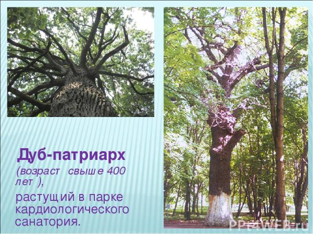 Дуб-патриарх (возраст свыше 400 лет), растущий в парке кардиологического санатория.
