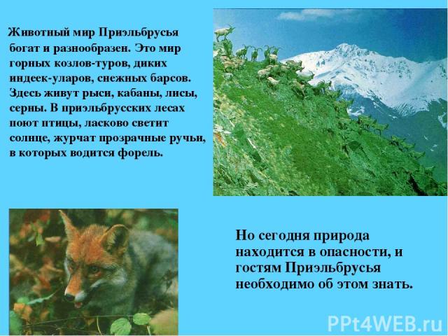 Животный мир Приэльбрусья богат и разнообразен. Это мир горных козлов-туров, диких индеек-уларов, снежных барсов. Здесь живут рыси, кабаны, лисы, серны. В приэльбрусских лесах поют птицы, ласково светит солнце, журчат прозрачные ручьи, в которых вод…