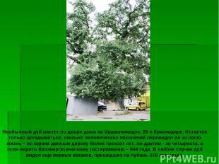 Необычный дуб растет во дворе дома на Орджоникидзе, 25 в Краснодаре. Остается то