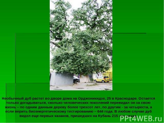 Необычный дуб растет во дворе дома на Орджоникидзе, 25 в Краснодаре. Остается только догадываться, сколько человеческих поколений перевидал он за свою жизнь – по одним данным дереву более трехсот лет, по другим - за четыреста, а если верить биоэнерг…