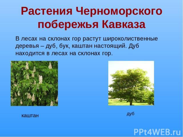 Растения Черноморского побережья Кавказа В лесах на склонах гор растут широколиственные деревья – дуб, бук, каштан настоящий. Дуб находится в лесах на склонах гор. каштан дуб