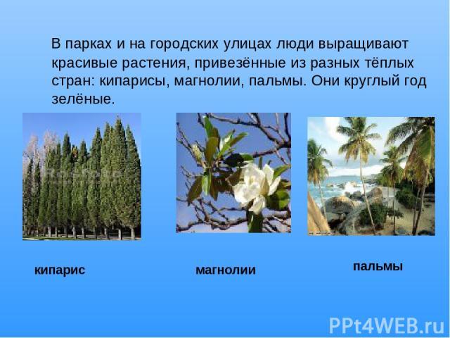 В парках и на городских улицах люди выращивают красивые растения, привезённые из разных тёплых стран: кипарисы, магнолии, пальмы. Они круглый год зелёные. кипарис магнолии пальмы