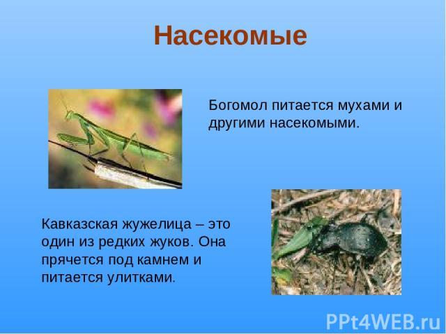 Богомол питается мухами и другими насекомыми. Кавказская жужелица – это один из редких жуков. Она прячется под камнем и питается улитками. Насекомые