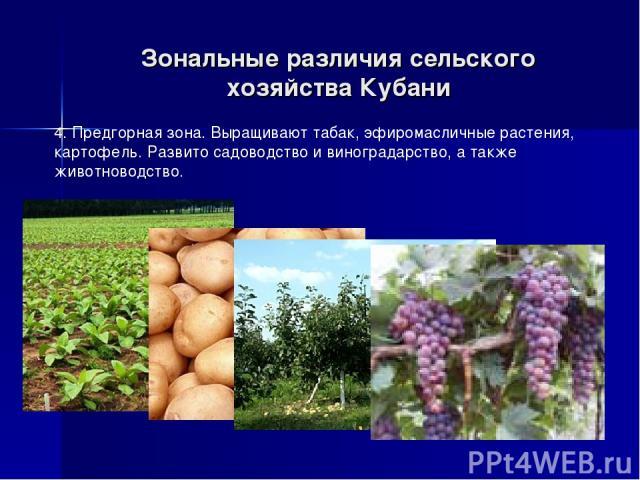 Зональные различия сельского хозяйства Кубани 4. Предгорная зона. Выращивают табак, эфиромасличные растения, картофель. Развито садоводство и виноградарство, а также животноводство.
