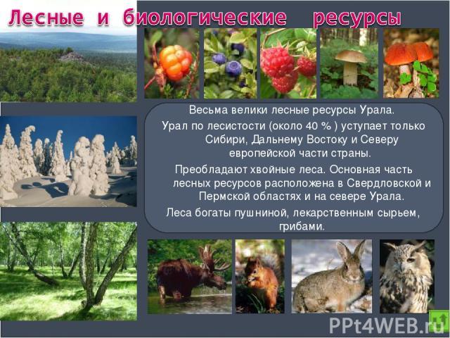 Весьма велики лесные ресурсы Урала. Урал по лесистости (около 40 % ) уступает только Сибири, Дальнему Востоку и Северу европейской части страны. Преобладают хвойные леса. Основная часть лесных ресурсов расположена в Свердловской и Пермской областях …