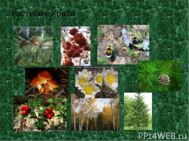 Растения Урала