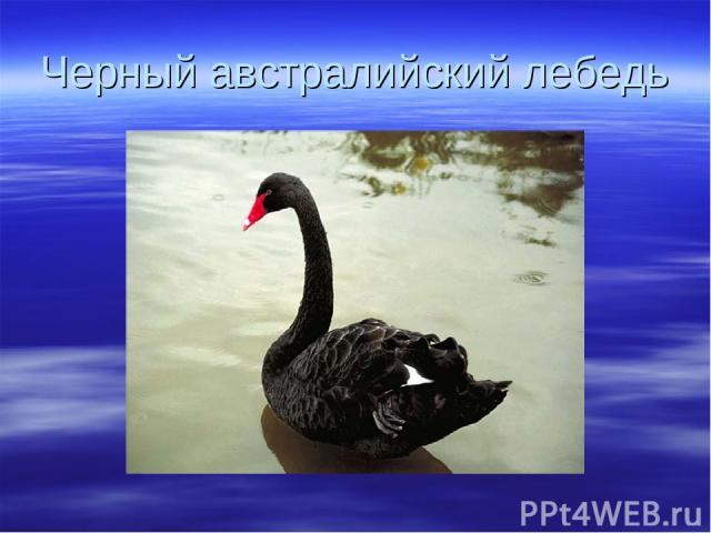 Черный австралийский лебедь