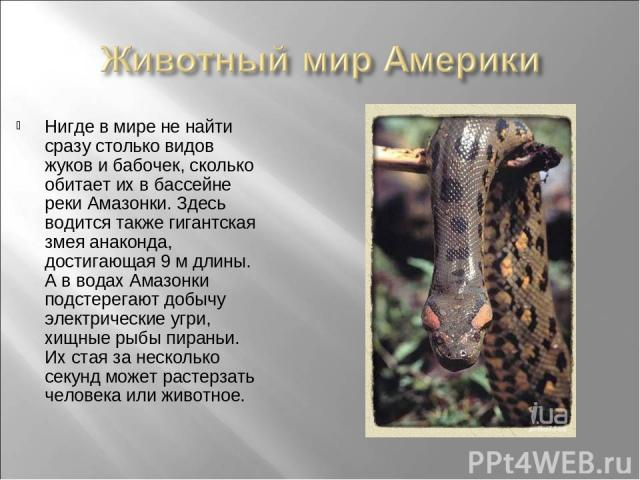 Нигде в мире не найти сразу столько видов жуков и бабочек, сколько обитает их в бассейне реки Амазонки. Здесь водится также гигантская змея анаконда, достигающая 9 м длины. А в водах Амазонки подстерегают добычу электрические угри, хищные рыбы пиран…